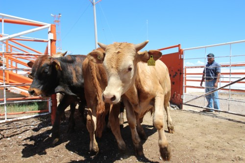 Cattle from Durango, Mexico arrive at Ganadera Chihuahua near Presidio, Texas,  July 11, 2013. Citing unspecified threats, USDA banned its inspectors working here in 2012. That ban has now been lifted. (Lorne Matalon)