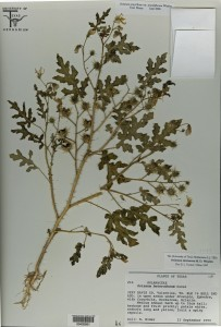 A pressed and sealed specimen of the plant that was found in Valentine in 1990, but was previously identified as the wrong species (University of Texas Herbarium)