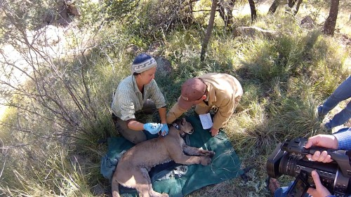 Wildlife biologist Dana Milani and landowner Bert Geary examine an adult female mountain lion. Geary is one of more than 50 landowners who've granted access to their land to study an animal that has been the historical object of scorn by many Texas ranchers. (Photo by Price Rumbelow)
