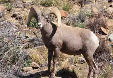 King Of The Mountains Desert Bighorn Sheep In West Texas