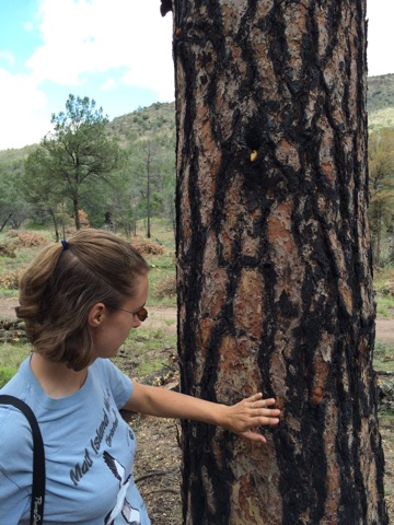 Nature Conservancy Ecologist, Charlotte Reemts surveys fire marks on a Ponderosa Pine (Ryan Lentini/KRTS)
