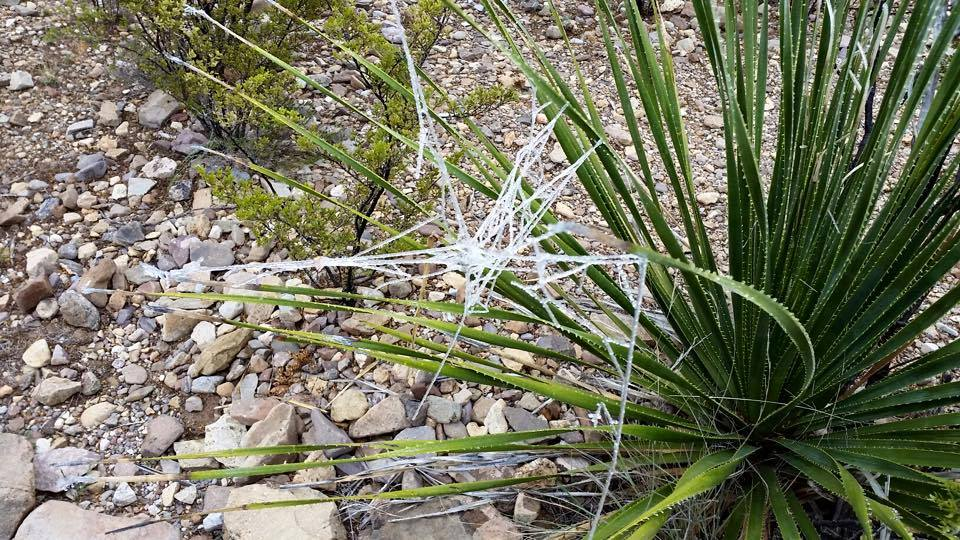 Winter Storm frozen spiderweb - A traveler to Big Bend National Park sent us this photo of a frozen spiderweb, captured in the park over the New Years holiday. (Merrell Goza)