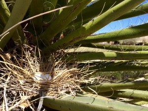 Herb Galliart landscapes his front yard with native desert plants including this yucca, which is home to a dove's nest. (Mónica Ortiz Uribe)