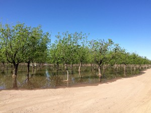 A pecan orchard flooded with pumped groundwater less than a mile from the dry bank of the Rio Grande. In the summer acres upon acres of farmland are irrigated with river water. (Mónica Ortiz Uribe)